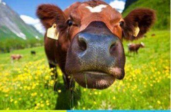 1701046 Cow 25 UHQ JPEG 6
