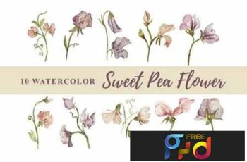10 Watercolor Sweet Pea Flower Illustration 6