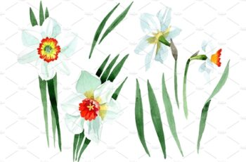 White narcissus Watercolor png 3484024 6