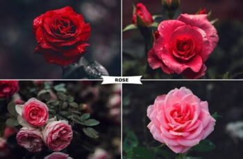 Rose Photoshop Action 4974092 2